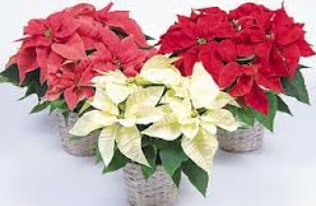 Virtual Poinsettia Sales